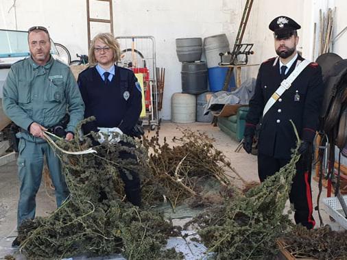 La fabbrica della marijuana nel capannone di Boretto: arrestato 39enne di Viadana