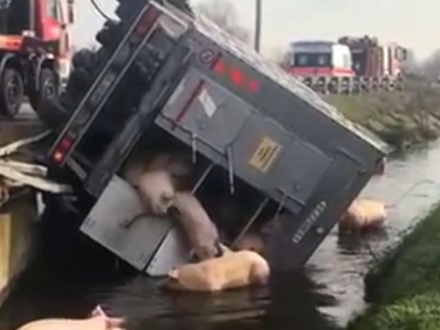 Camion si ribalta: i maiali sguazzano nella roggia