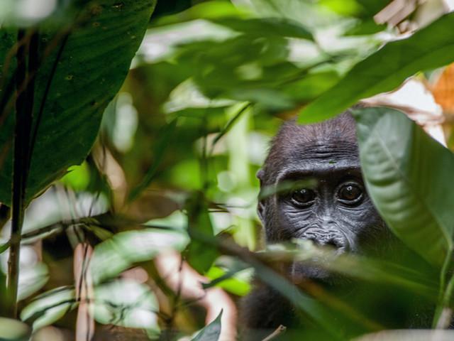 Bacino del Congo: 6 Paesi, una foresta, un futuro