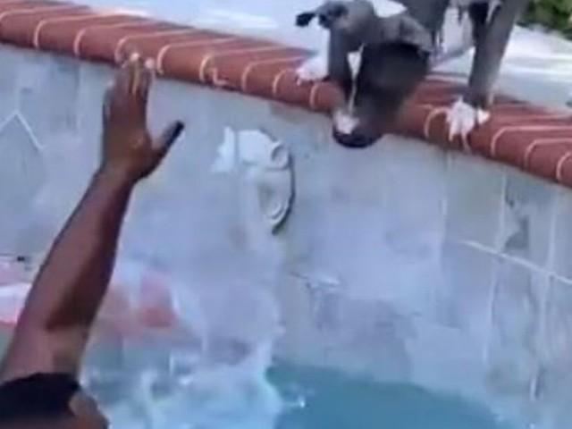 Il video del cane Boogie: si getta in piscina per salvare il suo proprietario