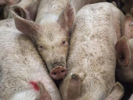 """Germania, la disfida per i porcellini: """"Stordirli con il gas prima di castrarli"""""""