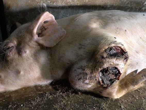 Gli ingredienti 'segreti' del prosciutto. Animal Equality mostra gli orrori di un allevamento di maiali VIDEO