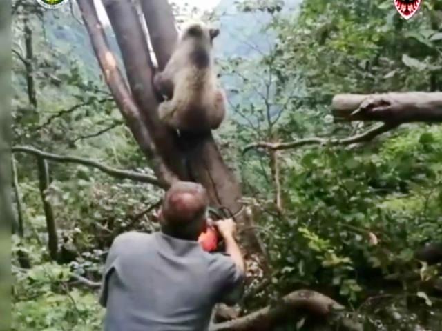 Trentino, cucciolo di orso incastrato tra gli alberi: le complesse operazioni per liberarlo – Video