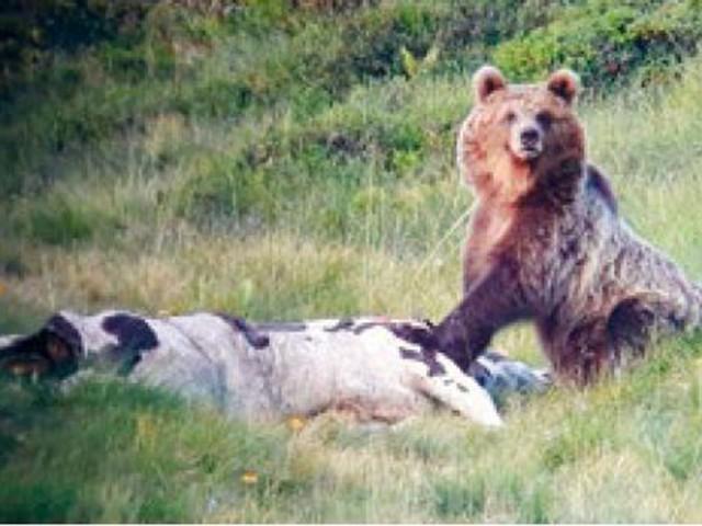 Il braccio di ferro sulla cattura dell'orso M49 Secondo la Provincia va rinchiuso al Casteller Martedì confronto a Roma sulla gravità del caso