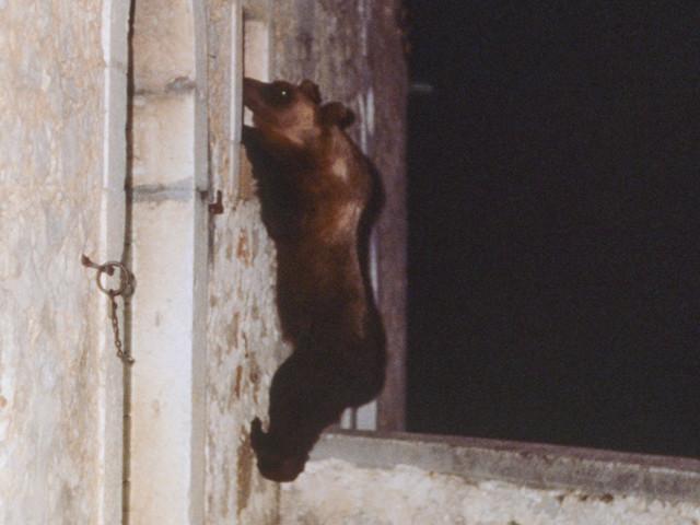 È morta l'orsa Yoga, nel Parco nazionale d'Abruzzo, Lazio e Molise