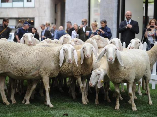 Il valore di una moglie? In India 71 pecore se scappa con l'amante