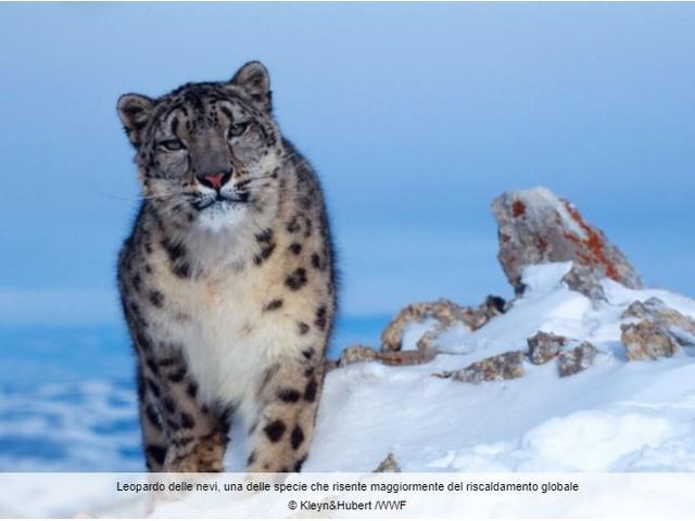 Entro il 2070 potrebbero essere scomparsi i 2/3 dell'areale del leopardo delle nevi