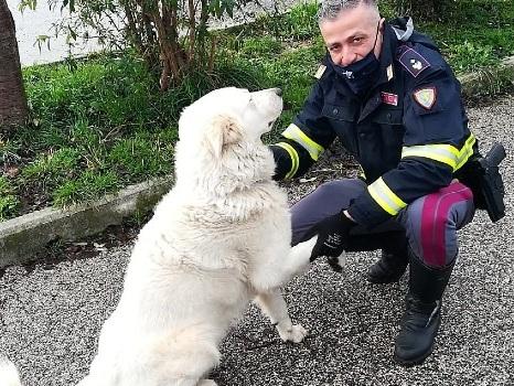 Cane in mezzo alla statale, Polizia salva il maremmano Boccanera
