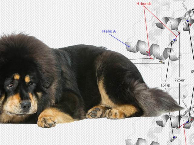 Il mastino tibetano è diventato un super-cane grazie ai geni del lupo
