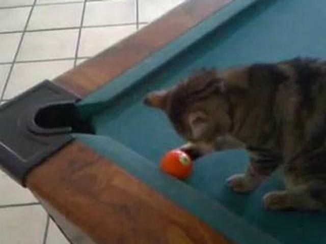 Un gatto alle prese con il biliardo | video