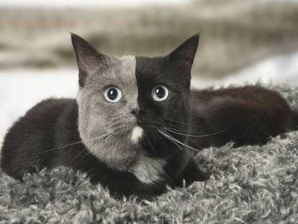 Narnia, la bellissima gatta con due facce (FOTO)