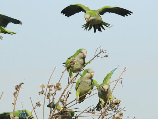 Il comune di Madrid ha deciso di eliminare migliaia di pappagallini verdi
