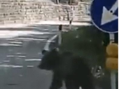 L'orsetto che corre sulla strada fra Ranzo e Vezzano finché trova un boschetto