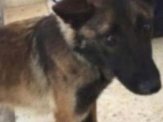 Giordania, cani addestrati per trovare esplosivi, maltrattati ed abbandonati a loro stessi
