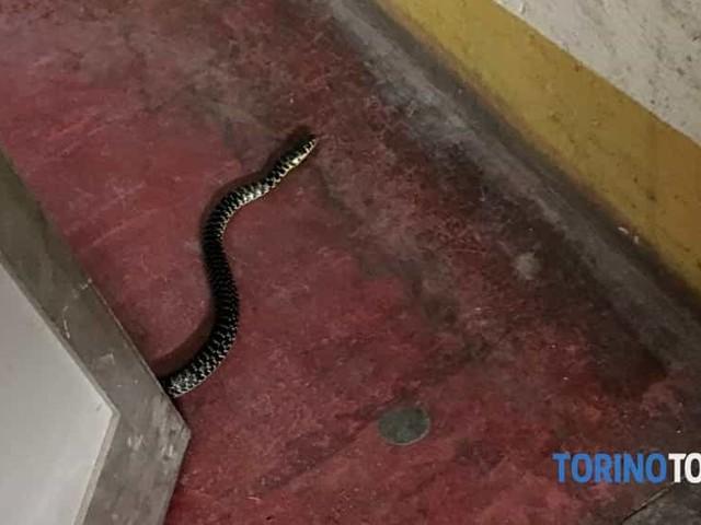 Dal garage spunta un serpente, l'animale terrorizza una ragazza