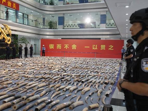 Sequestrate in Cina 2.748 zanne d'avorio. Wwf: «Strage elefanti ancora all'ordine del giorno»