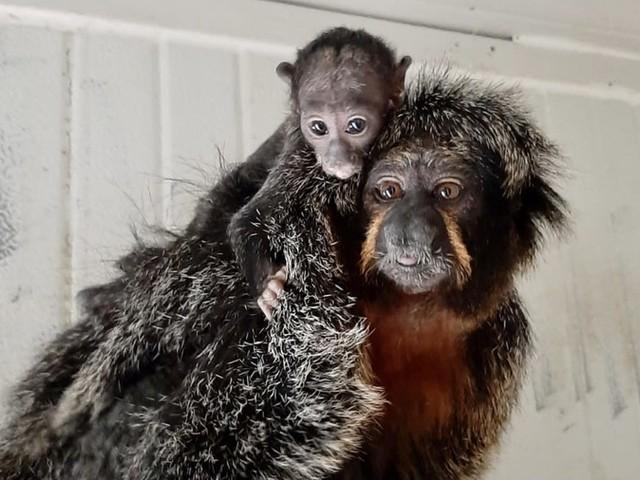 Nasce cucciolo di scimmia saki al Parco Zoo di Falconara