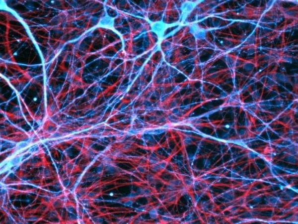 Non solo sinapsi per la formazione dei ricordi