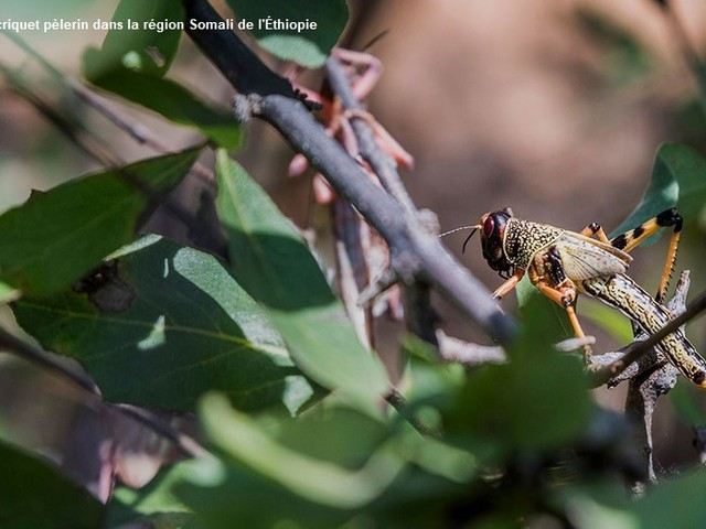 L'invasione biblica delle locuste del deserto nel Corno d'Africa, Onu: «Agire ora per prevenire la catastrofe»