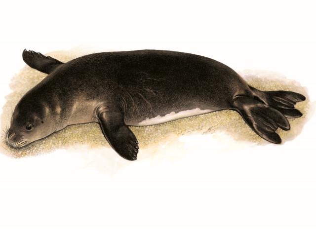 Un'altra foca monaca nell'Arcipelago Toscano: a Pianosa (VIDEO)