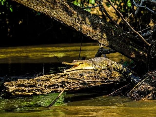 Scoperta una nuova specie di coccodrillo africano. Era nascosta in bella vista