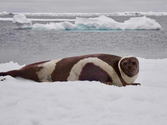 Lo scioglimento del ghiaccio marino artico fa emergere di un virus mortale nei mammiferi marini