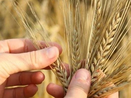 Il grano antico che viene dall'Africa sbarcadanoi quando molte certezze sono messe in discussione<br />