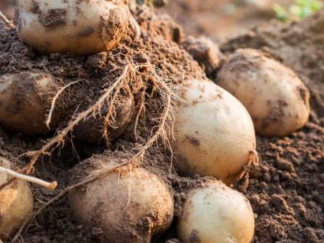 Come coltivare le patate in casa, anche sul balcone