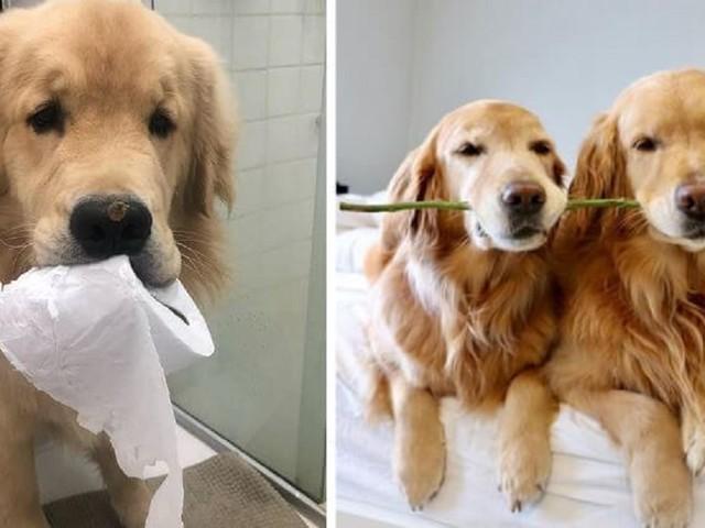 19 prove che dimostrano che i Golden Retriever sono i cani migliori