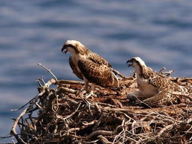 Il falco pescatore è tornato a nidificare a Capraia dopo 90 anni