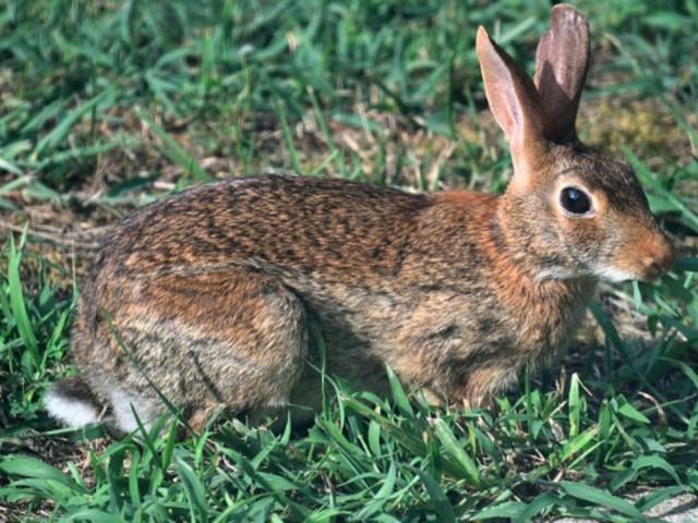 """""""Mangia un coniglio selvatico e contrae la peste bubbonica"""""""