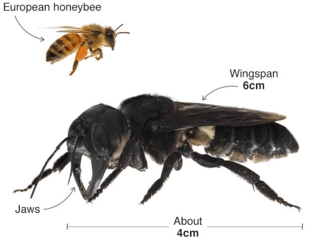 L'ape più grande del mondo non si è estinta. E' stata riscoperta in Indonesia dopo decenni
