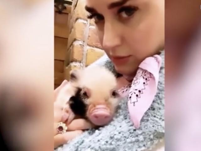 """Katy Perry diventa """"mamma"""" di due maialini"""
