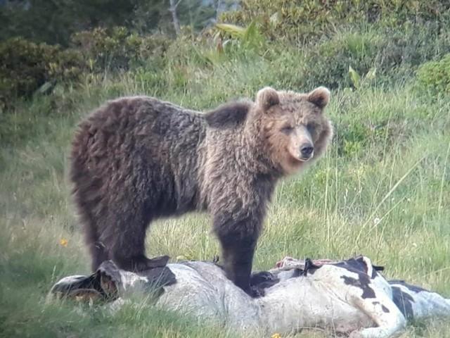 «L'orso M49 adottiamolo noi» Sagron Mis, il sindaco uscente non si ricandida e rilancia l'idea