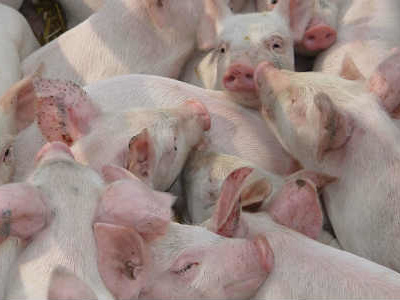 Virus, allevatori di suini in affanno: tensioni sui prezzi e più costi di produzione