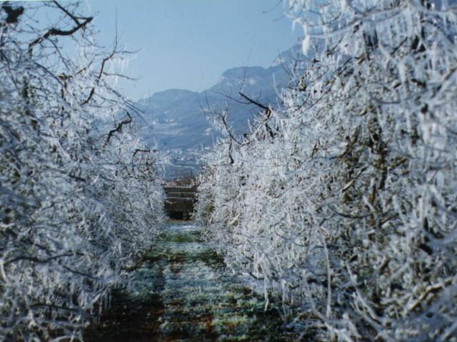 Rischio gelate, secondo il Codipra la neve non ha fatto troppi danni ma stanotte è allerta a quote basse