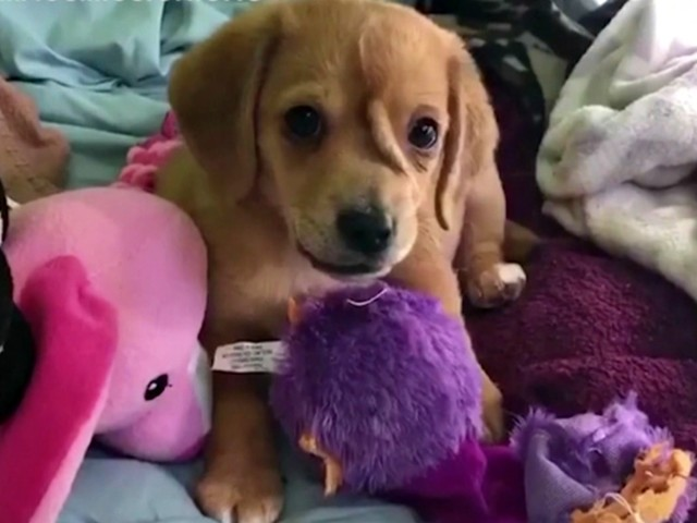 """Il cane """"unicorno"""" esiste: ecco la storia del cucciolo abbandonato per la malformazione sulla fronte"""