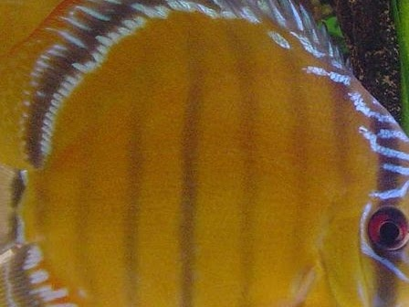 Pesce disco (Symphysodon aequifasciatus)