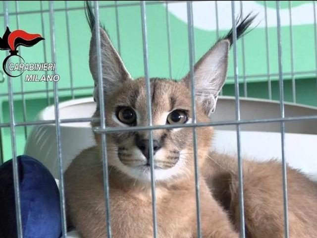 «Liberate Grum»: il caracal sequestrato può morire in gabbiaVideo: il felino selvatico in clinica