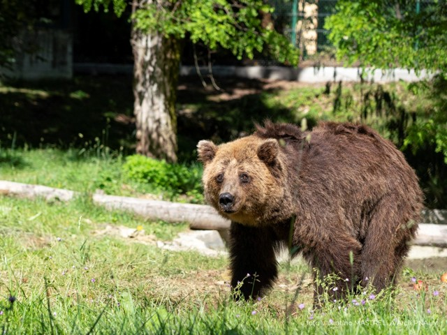 Sfruttati al circo in Lituania, tre orsi bruni trovano casa nel Parco Nazionale d'Abruzzo, Lazio e Molise