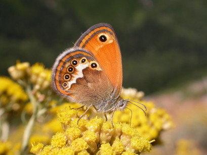 Le farfalle europee e il sacro Graal della filogeografia