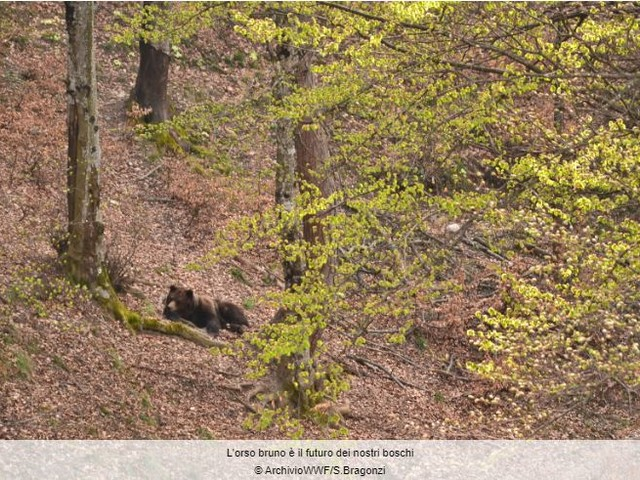 Orso in Trentino, Wwf e Legambiente chiedono la revoca dell'ordinanza di abbattimento