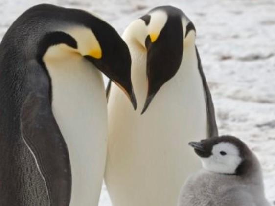 I pinguini imperatore più a rischio di quel che si credeva: hanno bisogno di una protezione speciale