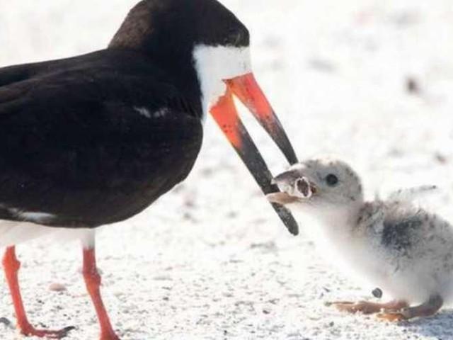 Mozziconi mortali: gli uccelli scambiano le cicche di sigaretta per vermi e le mangiano