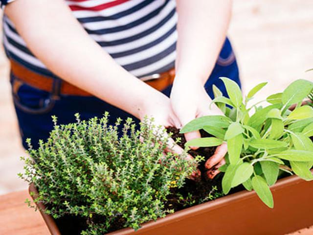 Timo, Rosmarino, Basilico e Salvia: come coltivare le piante aromatiche sul tuo balcone