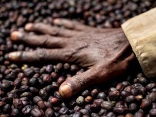 Molte specie di caffè selvatiche sono a rischio estinzione