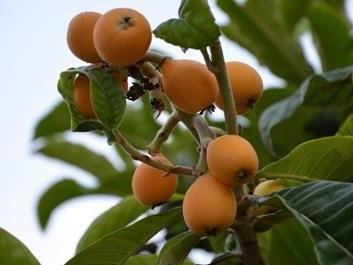 Le Nespole, un delizioso frutto dalle molteplici proprietà e benefici