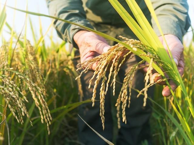 Cambiamenti climatici e suolo: entro il 2100 calo del 40% dei raccolti di riso e aumento dei livelli di arsenico (VIDEO)