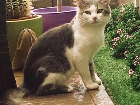 Sanremo: smarrito in zona Solaro il gatto Ugo, l'appello della proprietaria