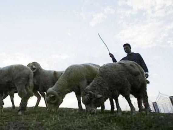 India, cede sua moglie all'amante in cambio di 71 pecore